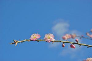 ひな祭り 桃花の写真